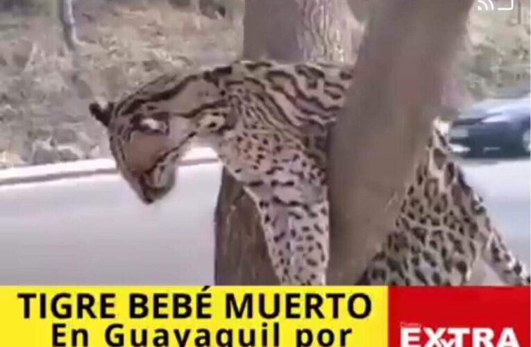 Hallan tigre bebé muerto en Daule por Villa del Rey